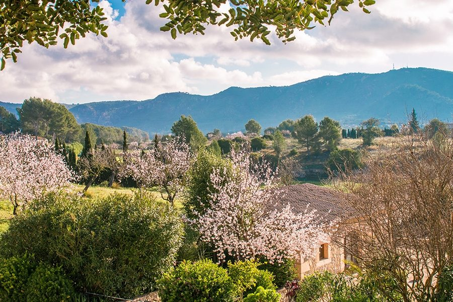 almond blossom fileds 900x600 - 9 Photos to make you want to visit Mallorca in February